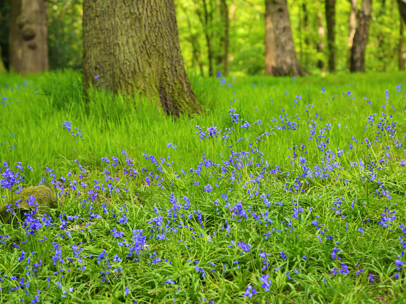 S4b Bluebells in Hirst Wood
