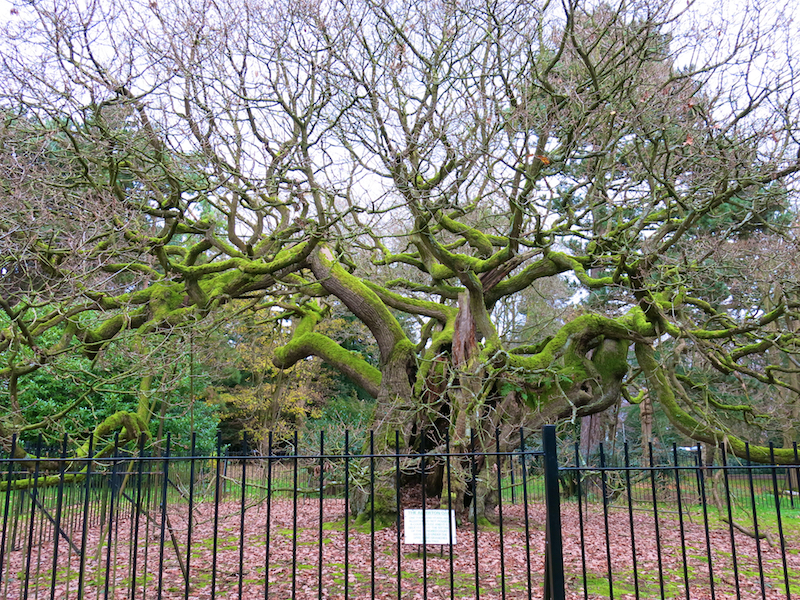 Allerton Oak in winter