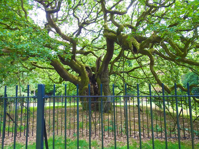 Allerton Oak in summer